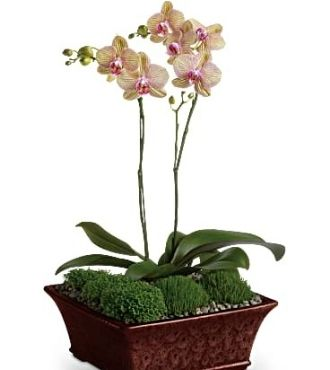 Divine Orchid Delivery send Orchids
