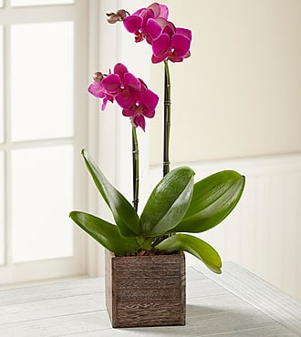 Orchids-Delivery-send-Orchids