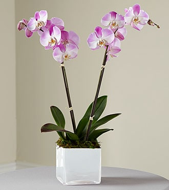 Orchids Delivery