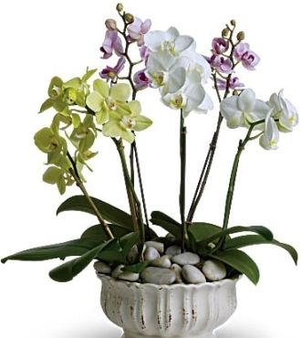 Regal-Orchids-Delivery-USA
